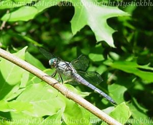 The dragonfly I met last year, Blu.~