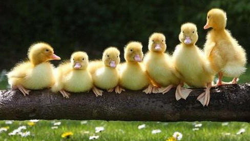 ducksinarow